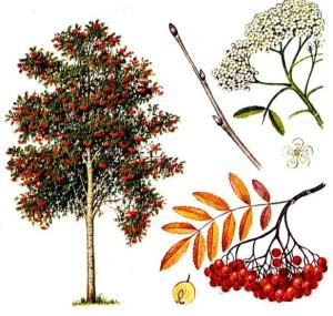 ryabina